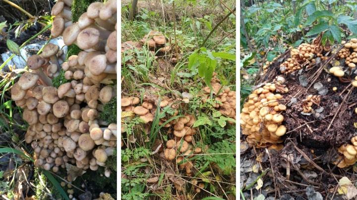 Новосибирцы находят деревья и пни, заросшие грибами: посмотрите на них