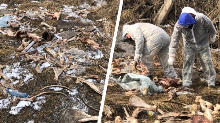 Роспотребнадзор заверил, что скотомогильник на берегу Енисея не повлияет на питьевую воду в Красноярске