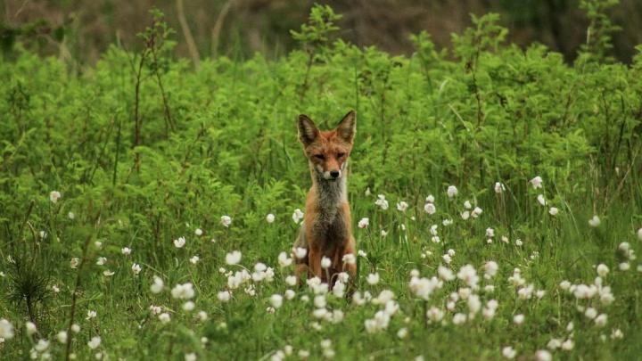 «Следов огнестрельного оружия нет»: сотрудники Татышев-парка опровергли версию убийства лисы