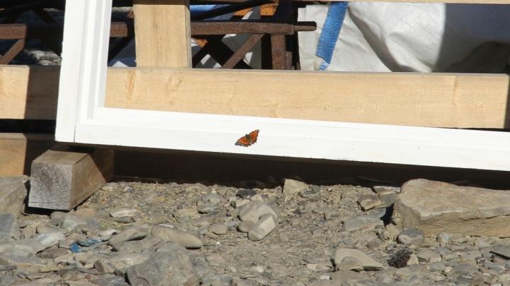 «Климат теплеет»: ученые обнаружили бабочек в северной точке Новой Земли