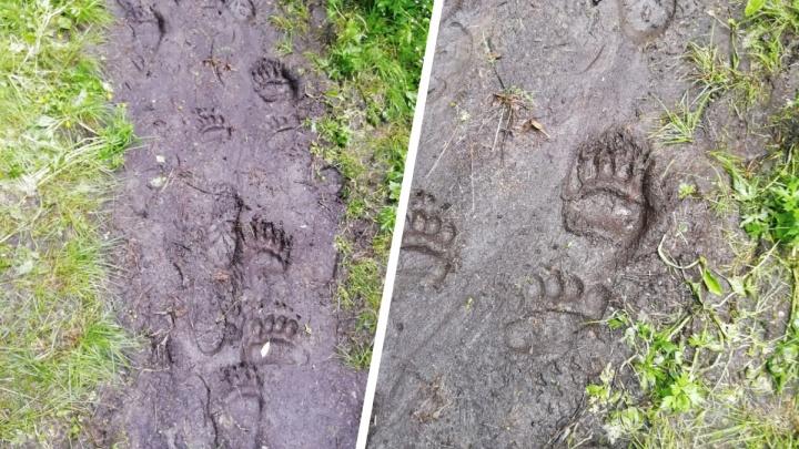 Следы медведя нашли в районе Первого столба