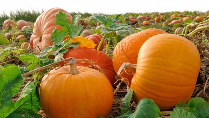 Не ждите Хеллоуина: когда убирать тыкву и что делать с гигантами (внутри рецепт вкуснейших цукатов)