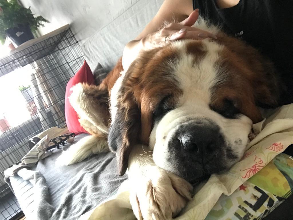 Спит огромный сенбернар где хочет — на полу, на диване — где угодно, но не в гигантской специальной клетке (она на заднем фоне), которую ему купили