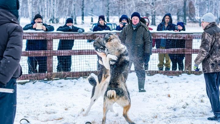 Зоозащитники обратились в прокуратуру с жалобой на собачьи бои в Ишиме