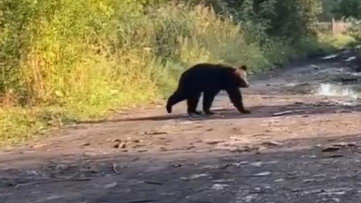 В Кузбассе медведь пришел в город. Полицейские вернули его обратно в лес