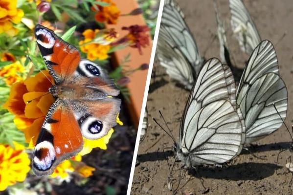 Бабочки, обитающие в Югре
