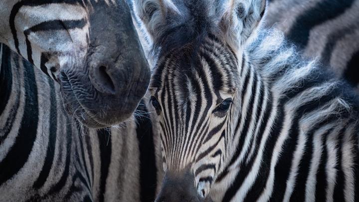 В «Роевом ручье» родилась малышка-зебра: через 20минут она уже прыгала вокруг мамы