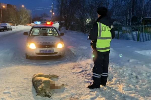 Полицейские проследили за животным и применили оружие, когда волк пошел в их сторону