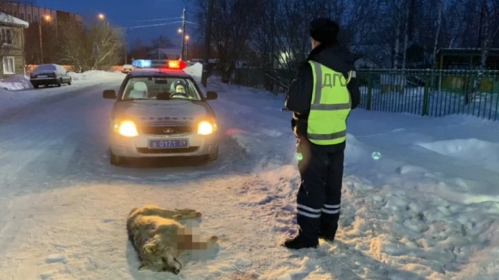 «Создавал реальную угрозу жизни»: возле детского сада в Архангельске полицейские застрелили волка