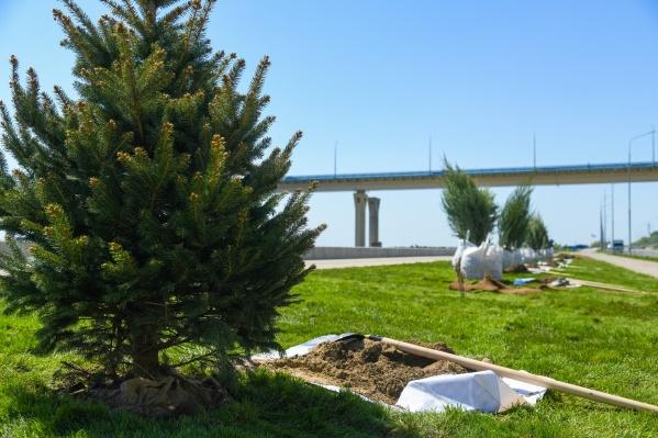 На набережной Волгограда высадили голубые ели, три вида можжевельников, барбарис и спирею