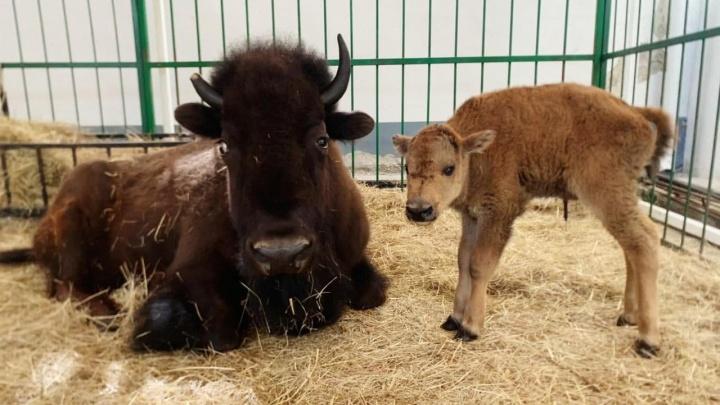 «Мама Грэмми, папа Оскар, а малыш — Тэфи»: в Екатеринбургском цирке после премьеры родился бизон