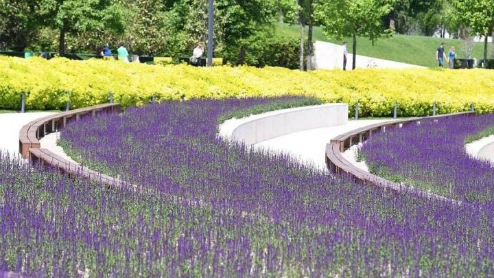 В парке «Краснодар» начался сезон цветения шалфея