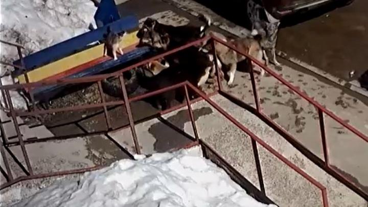 «Кошачий Джеки Чан»: в Прикамье котик отбился от стаи собак — все попало навидео