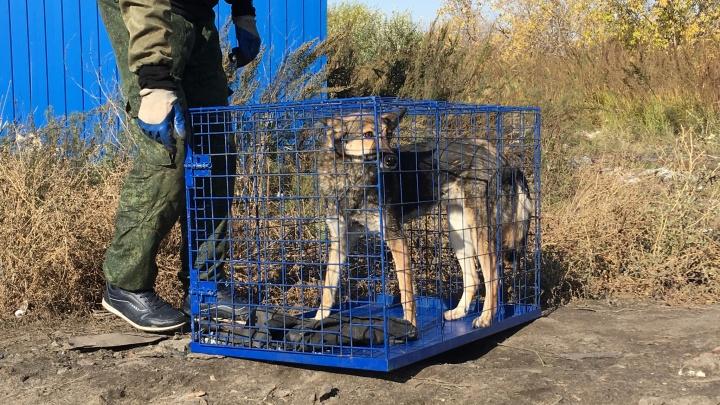 «Они не бездомные!»: жительница Кургана пожаловалась на отлов собак
