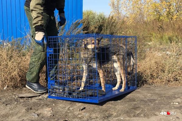 По примерным подсчетам властей, в Кургане в 2019 году насчитывалось от одной до полутора тысяч безнадзорных собак