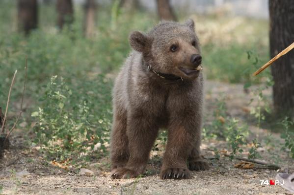 В начале июня медведя заметили в Кировском районе Кемерово