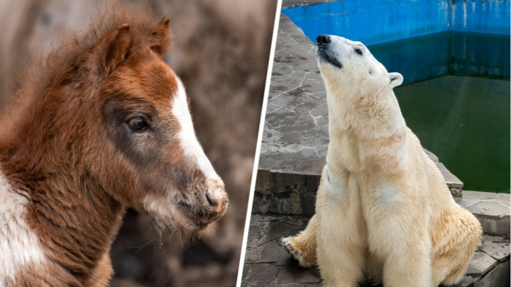 Белый медвежонок и новорожденный пони: 25 хвостато-полосатых фотографий из ростовского зоопарка