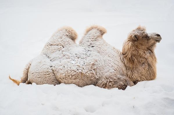 Верблюды уже привыкли к сибирским морозам и пушистому снегу