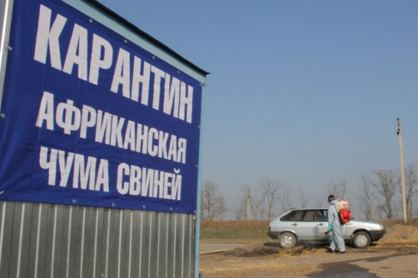 Чума свиней вновь вернулась в Кумылженский район
