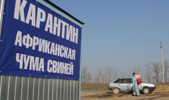Вовремя обнаружили: в Волгоградской области ликвидируют вспышку африканской чумы свиней