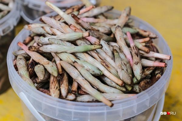 Так выглядят пистики — «шишечки» молодых побегов полевого хвоща