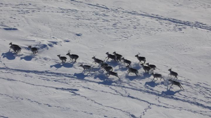 Численность оленей на севере Красноярского края за 20лет сократилась в 2,5раза