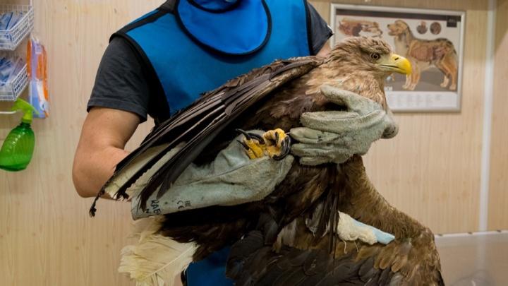 Орлана-белохвоста, спасенного в НАО после выстрела браконьера, выпустили на волю