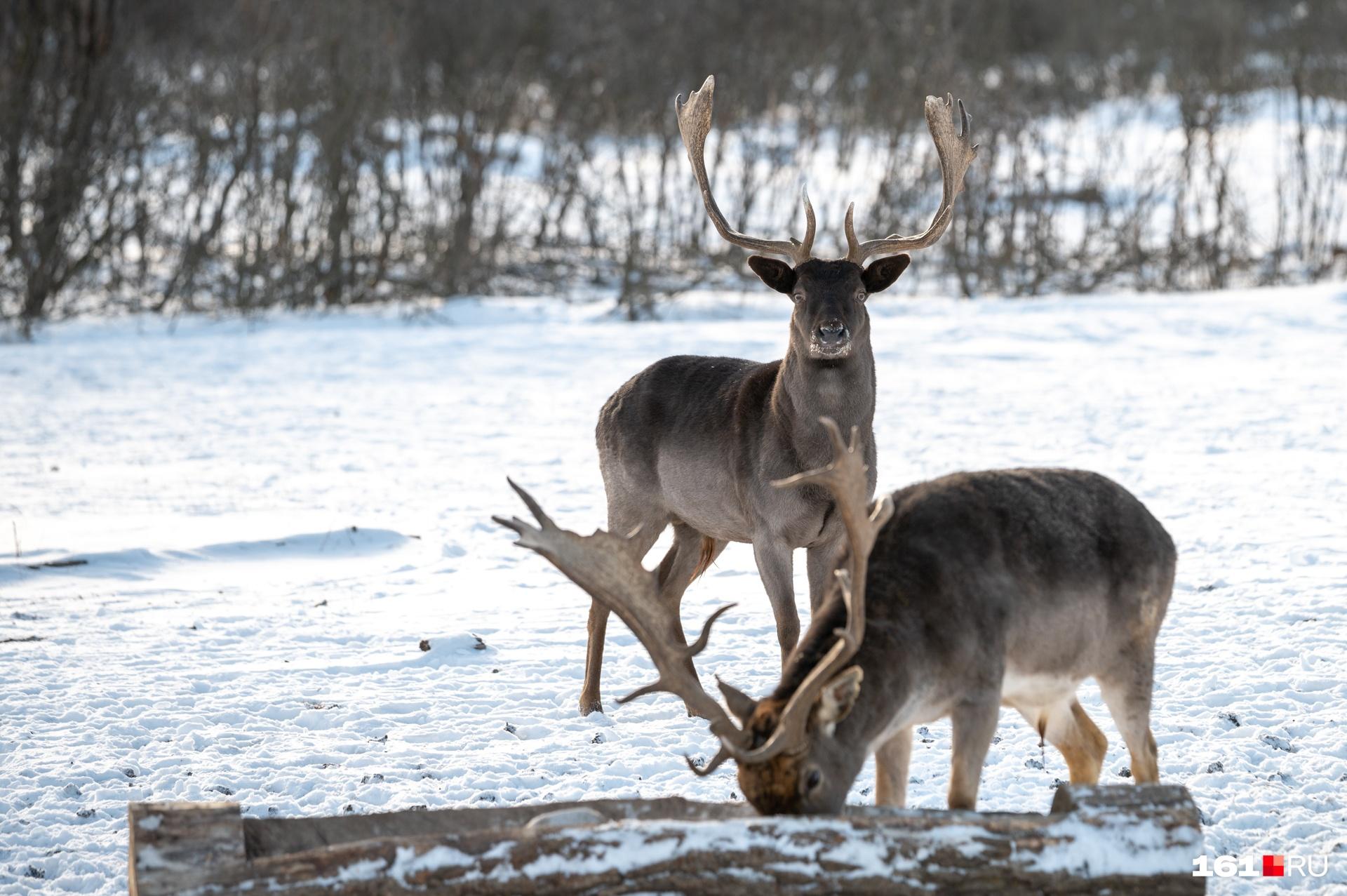 Сфотографировать животных вблизи удалось только тогда, когда инспекторы рассыпали по кормушкам ячмень