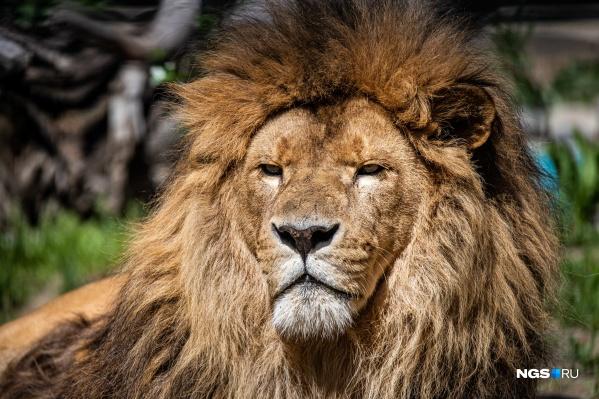 Король джунглей и в Сибири остается королем