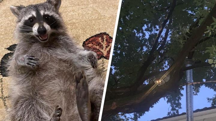 «Выломала ограждение на балконе и сбежала». На Уралмаше сняли с дерева енота-потеряшку
