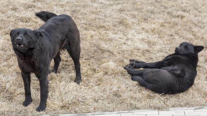 Волгоградцы с начала года 2250 раз потребовали отловить опасных диких собак