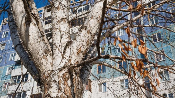 Власти Кемерово вырубят тополя и вязы в центре. Рассказываем, зачем это нужно и как выбирают деревья