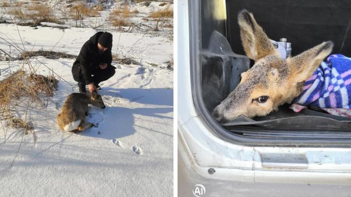 Жители Зыково спасли изможденную косулю с поврежденными ногами. Возможно, ее гнали собаки