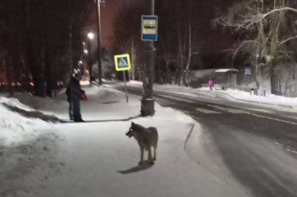 Волка заметили ранним утром
