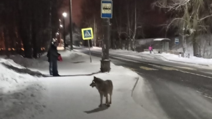 В Архангельске волк накинулся на женщин с собаками. Полиция усилила патрулирование улиц