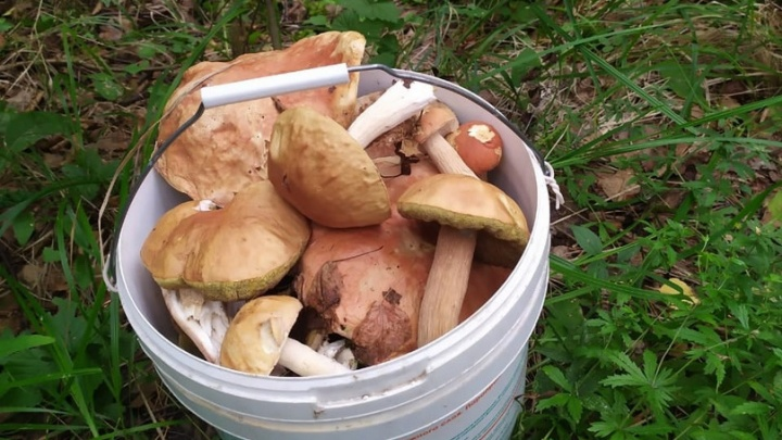 У кого улов больше: екатеринбургские грибники показали, что собрали в лесу