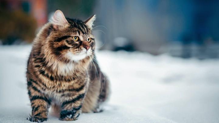 Заводчица 12 лет сохраняет уникальный красноярский тип сибирской породы кошек: посмотрите милейшее видео