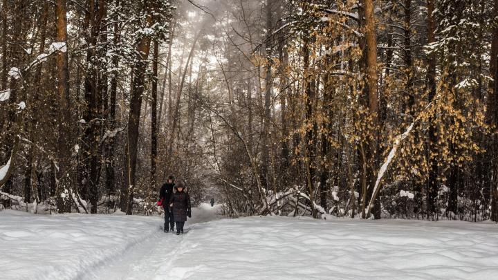 Лес на распил: депутат заявил, что под высотки хотят спилить 2000 деревьев в Новосибирске. Строители это опровергают