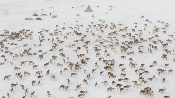 Новосибирский фотограф показал кадры с касланием оленей на Ямале — эти снимки завораживают