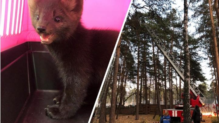 Сбежавший из челябинского зоопарка соболь Марик переполошил посетителей парка Гагарина