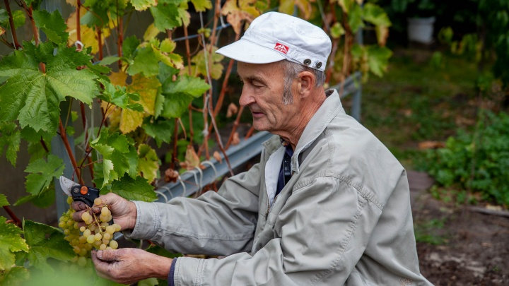 Как заслуженный строитель из Тюмени на пенсии выращивает «плантации» винограда (без теплиц и химии!)