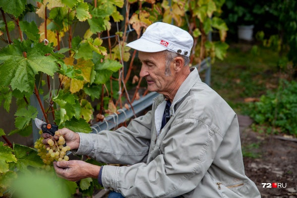 Хобби Александра Васильевича превратило его в чуть ли не главного тюменского виноградаря