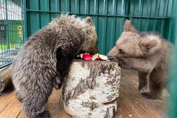 У челябинского зоозащитника Карена Далакяна большой опыт выхаживания медвежат