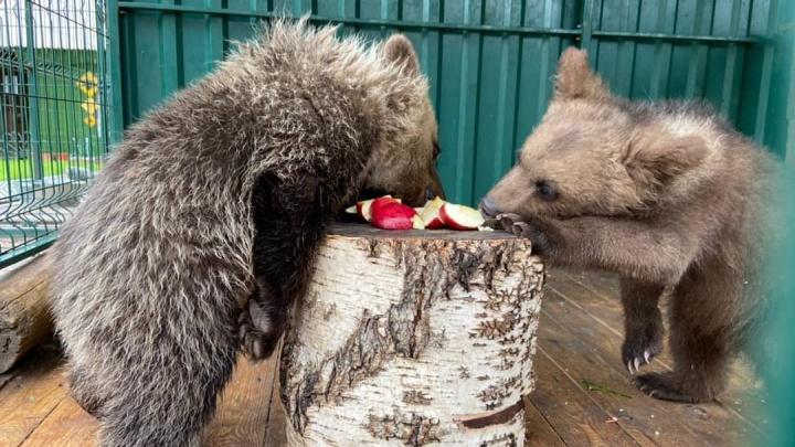 «Сначала они танцевали»: в Челябинске к медвежонку, спасенному после прогулок на пляже, подселили соседа