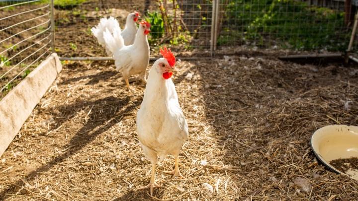 На крупной птицефабрике в Ярославской области задохнулись почти 300 тысяч кур