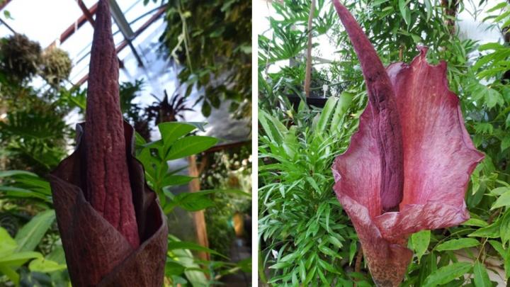 В Екатеринбурге расцвел дьявольский цветок. Он страшно красивый и пахнет гнилым мясом