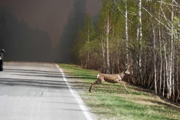 Из-за пожаров животные сейчас бегут из леса. Этот кадр, доказывающий, что водителям нужно быть предельно осторожными, сделан под Ишимом