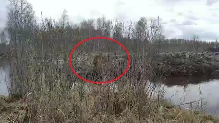 Под Тюменью агрессивный волкодав загнал рыбака в кусты