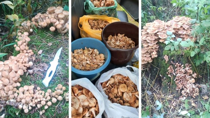 Начался сезон опят: новосибирцы везут грибы из леса мешками — где их собирать