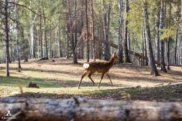 В оленьей ферме предупреждают посетителей, что гулять в лесу опасно, но «до людей не достучаться»